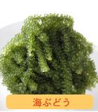 久米島海洋深層水海ぶどう販売
